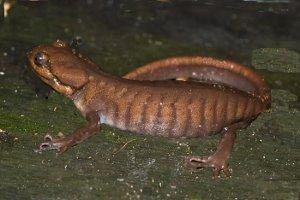 Northwestern salamander - Brown Salamander