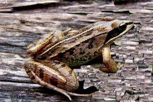 Wood frog - Rana sylvatica