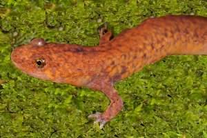 Northern spring salamander