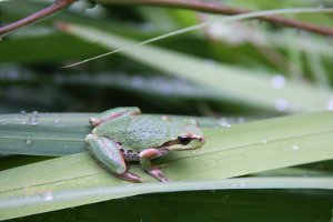 Pacific treefrog Hyla Regilla
