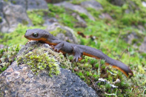 Rough-skinned newt near Vancouver