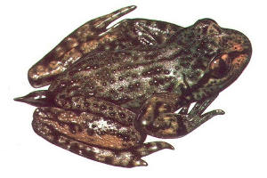 Ascaphus truei - Tailed Frog